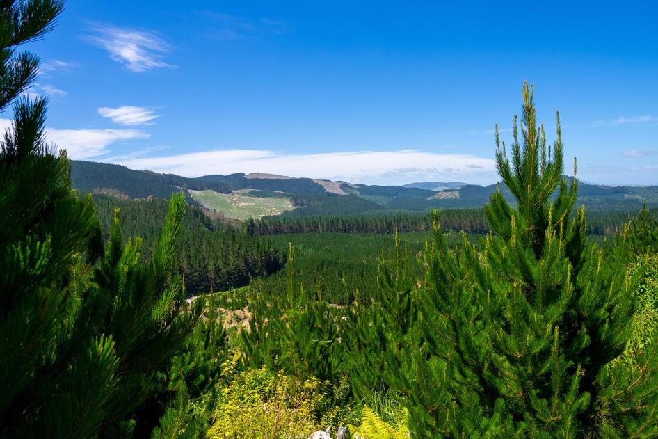 Redwoods and Whakawarewera forest views - Rotorua Walks