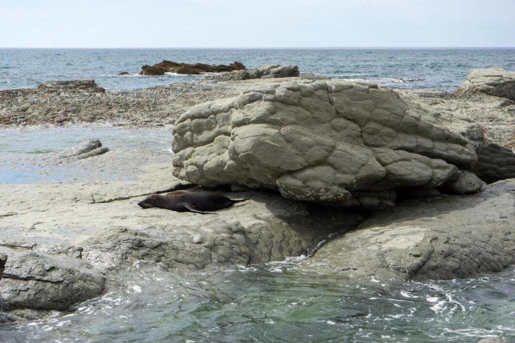 Seals on rocks at Kaikoura South Island self drive itinerary