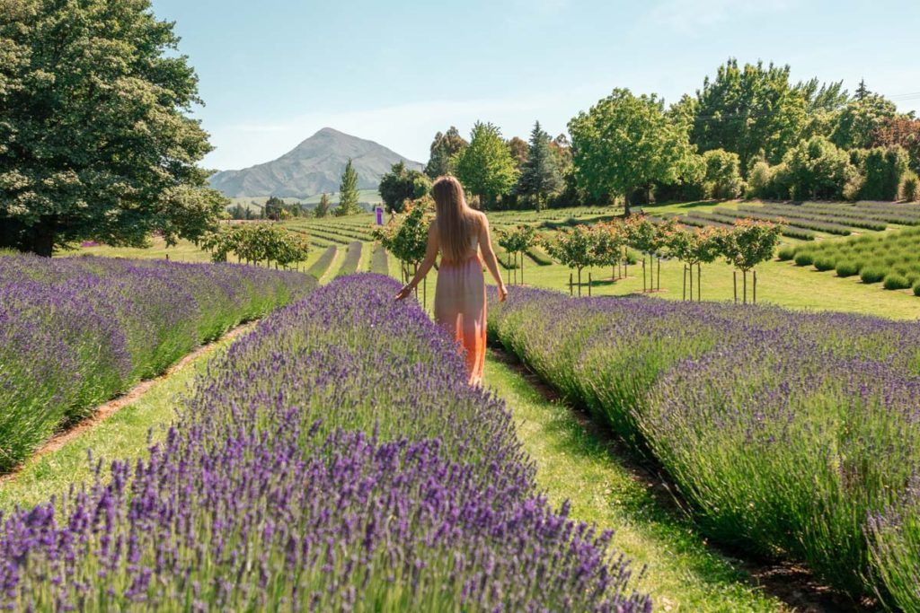 Woman exploring Lavender Fields in Wanaka, one of the best small towns in New Zealand